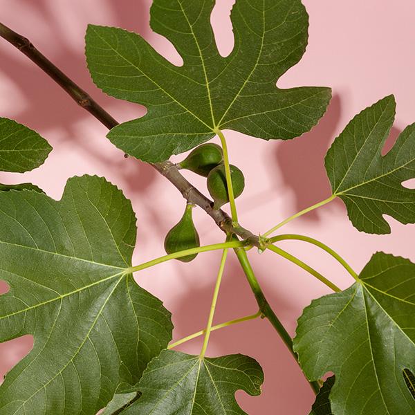 05 Fig Leaves